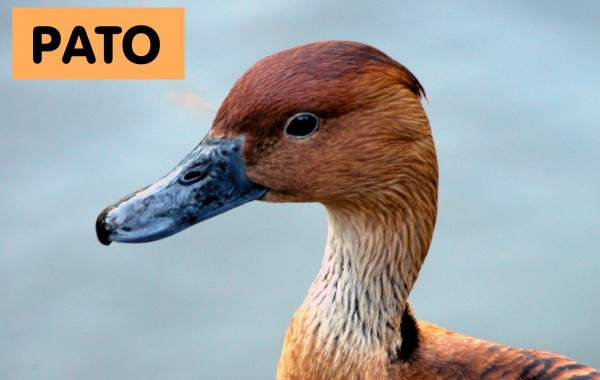Italian English Animsld: Animals-pato