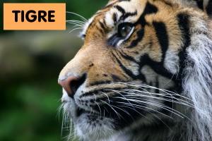 Spanish-Tigre-English-Tiger